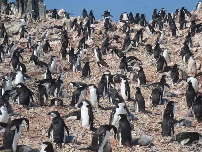 Colonie de Manchots en Antarctique